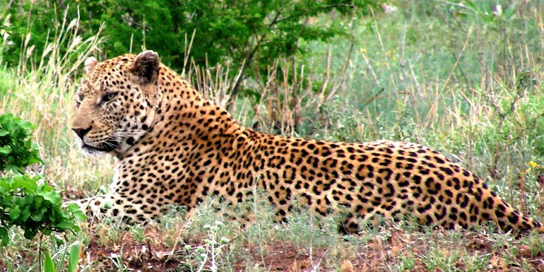 a leopard in Madikwe Game Reserve